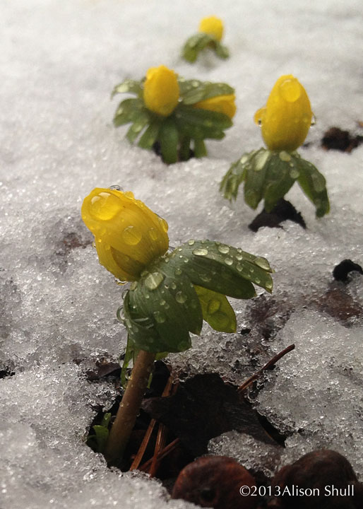 Flowers in Snow: Aconite In A Row