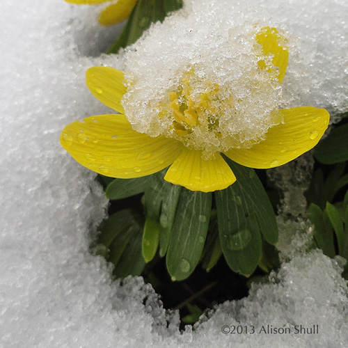 Flowers in Snow: Face Plant, photography by Alison Shull