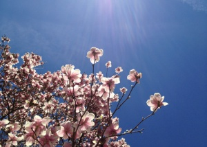 Blue Sky Magnolia, photograph by Alison Shull