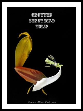Crowned Strut Bird Tulip by Alison Shull