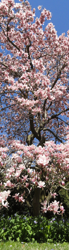 Magnolia, Alison Shull Art