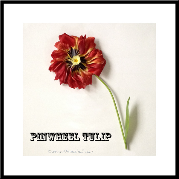 Pinwheel Tulip, a flower sculture photograph by Alison Shull