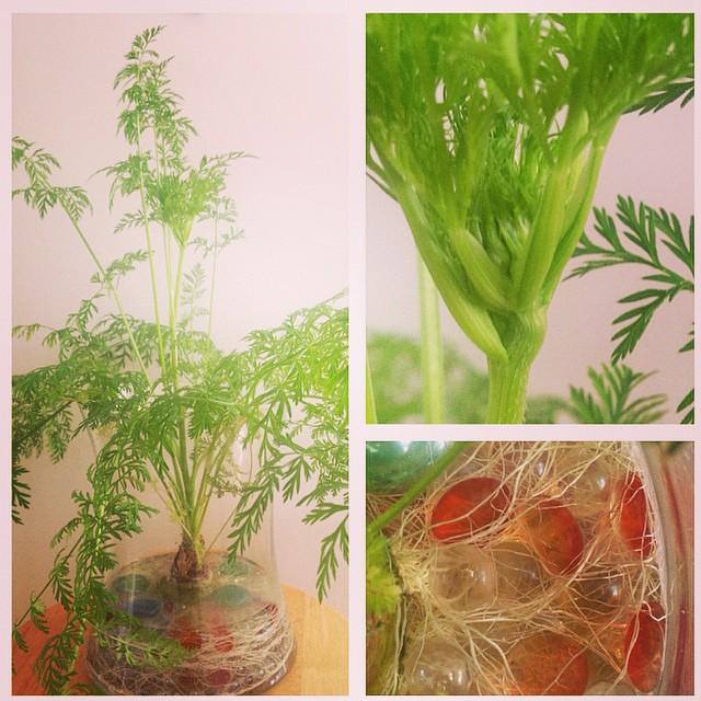 Carrot Blossom Budding - Alison Shull photograph