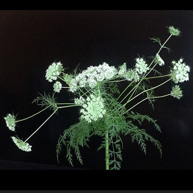 Carrot Flower Blossom Glamour Shot - Alison Shull photograph