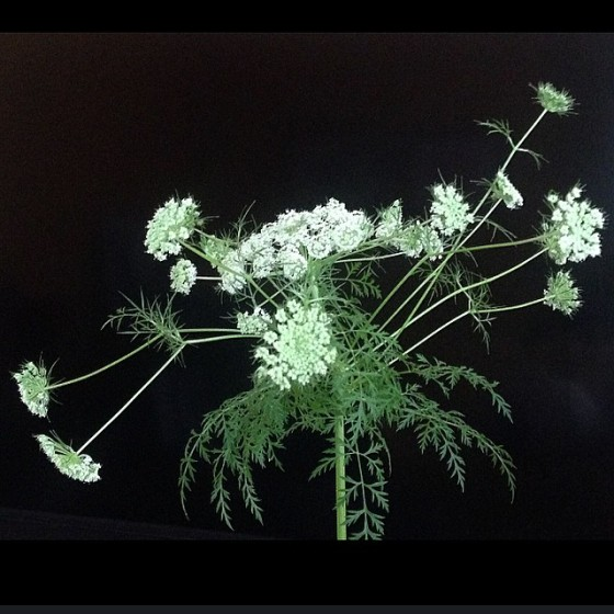 Carrot Flower Blossoming - Alison Shull photograph